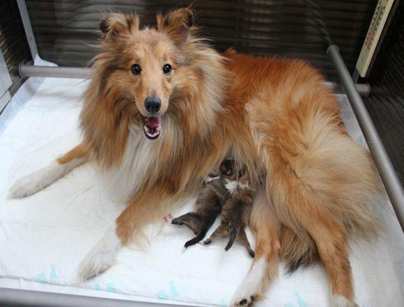 Puppies Geboren Van Sheltie Daisy (april 2015)