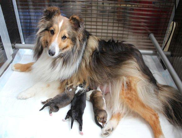 Puppies Geboren Van Sheltie Dana (april 2015)